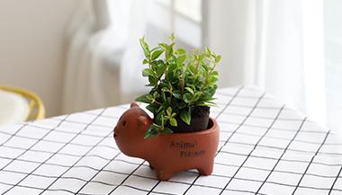 黑绵土绿植-小猪盆-白脉椒草