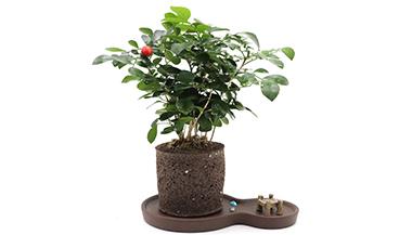 黑绵土绿植-8字茶韵盆-九里香
