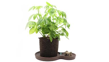 黑绵土绿植-8字茶韵盆-鸭脚木