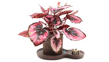 黑绵土绿植-8字茶韵盆-红心海棠