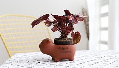 黑绵土绿植-小猪盆-红心海棠