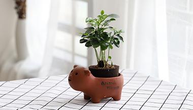 黑绵土绿植-小猪盆-九里香