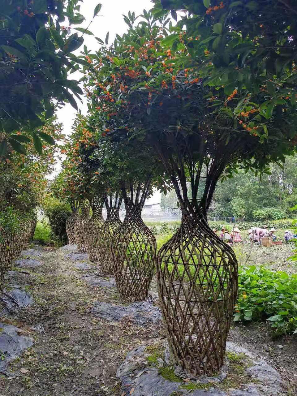 成都苗木网教你一招,如何轻松算出绿化苗木的栽种费