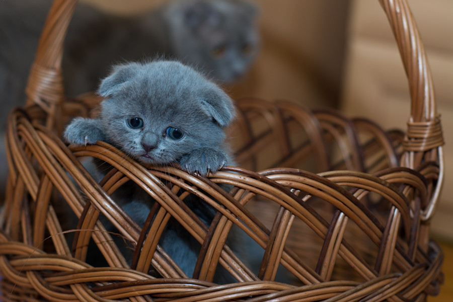 russian-blue-kitten-on-brown-woven-basket-127027_副本.jpg