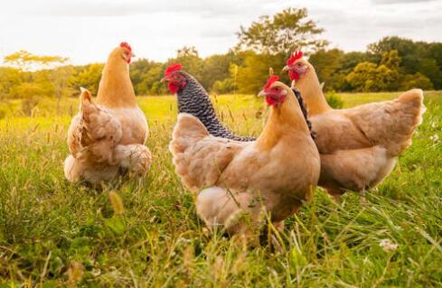 七成韩国  家庭每周至少吃一次鸡肉