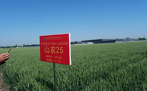 小麦种子怎么种.jpg
