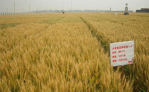 小麦种子在播种的时候应注意什么