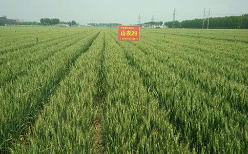 小麦种子处理,您做对了吗?