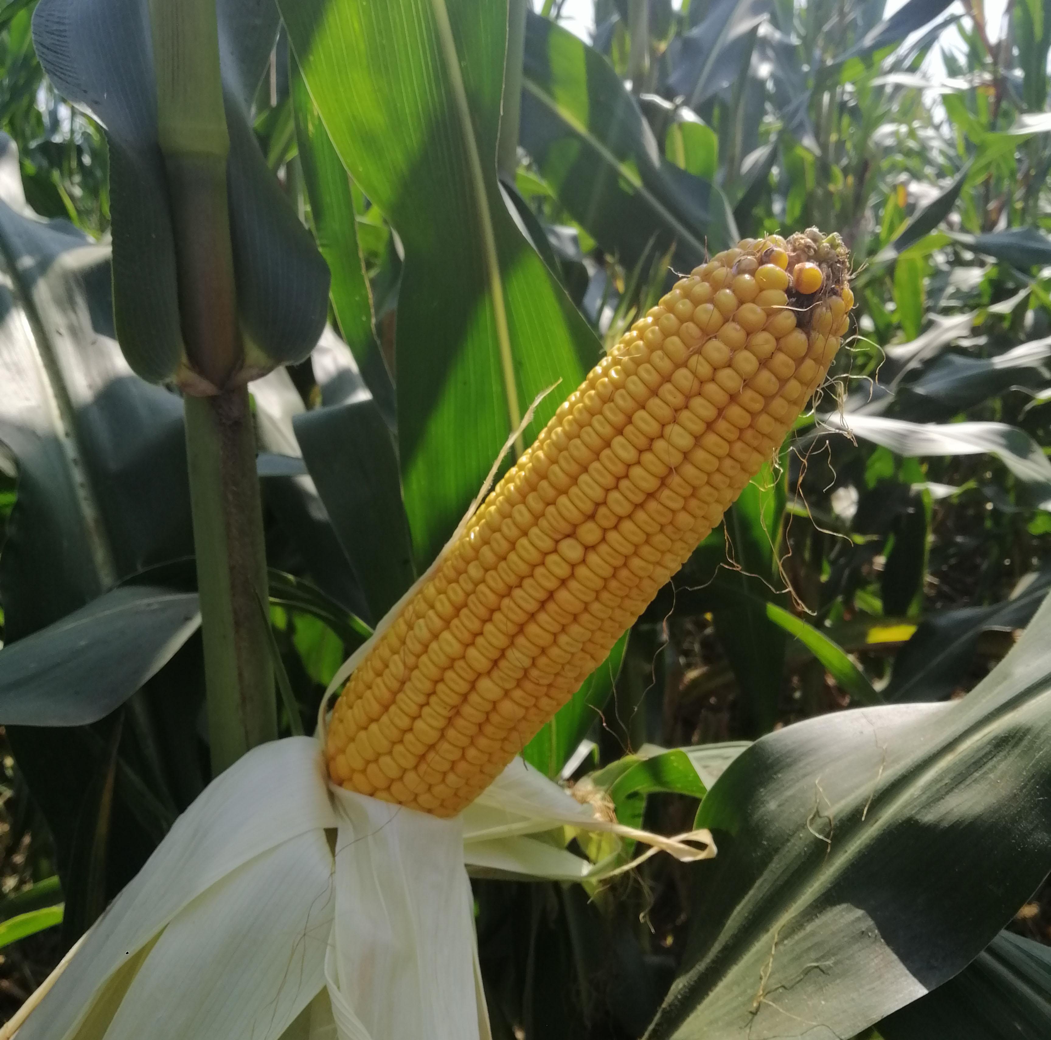 買玉米種子要避開的套路