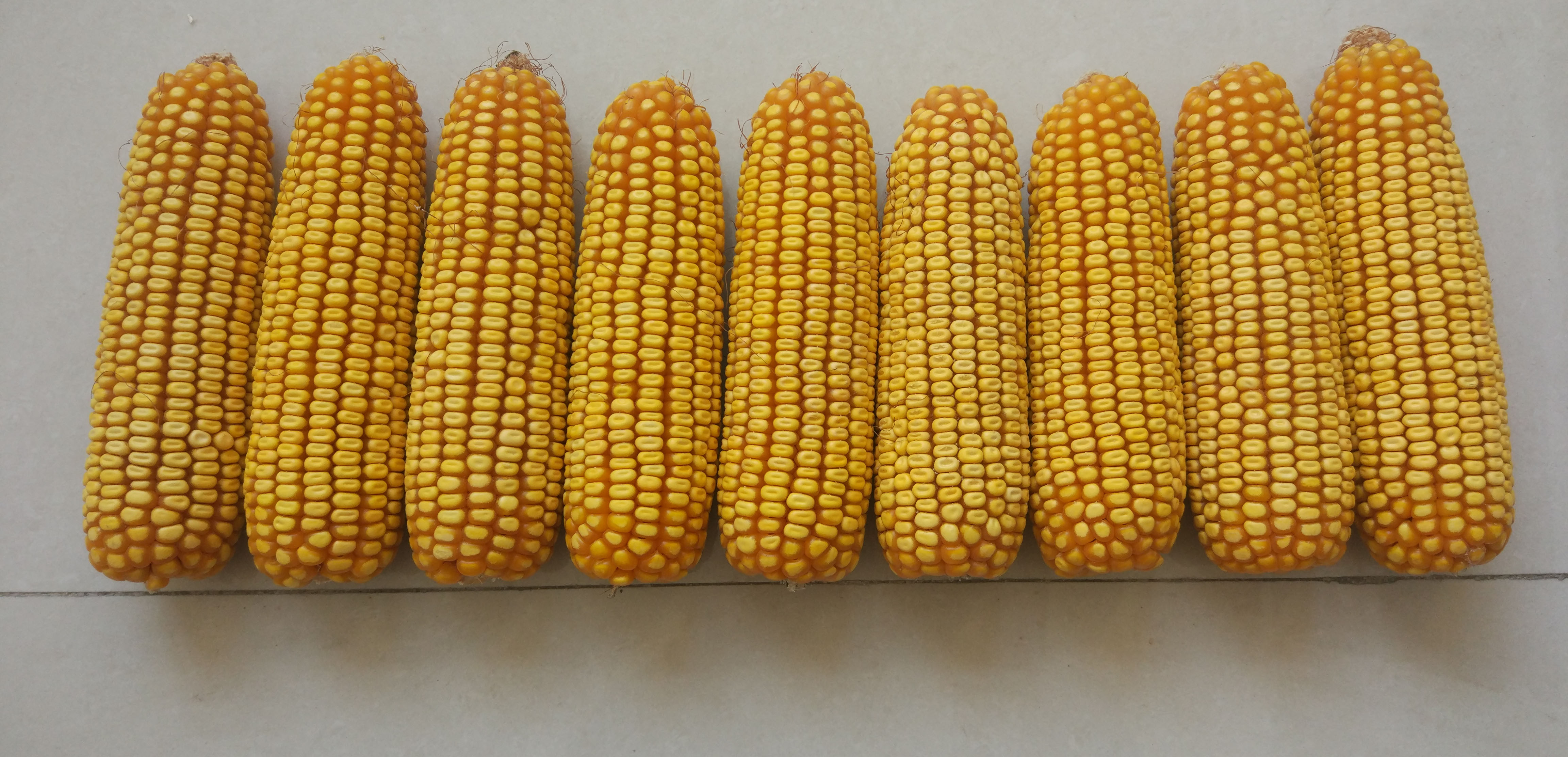 买玉米种子,千万要避开这6大误区