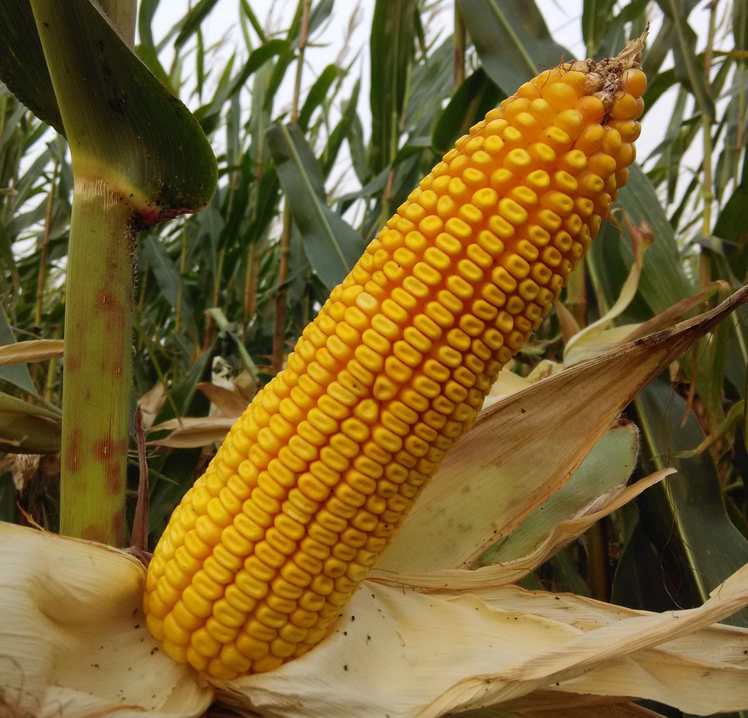 玉米種子價格差異為什么這么大?