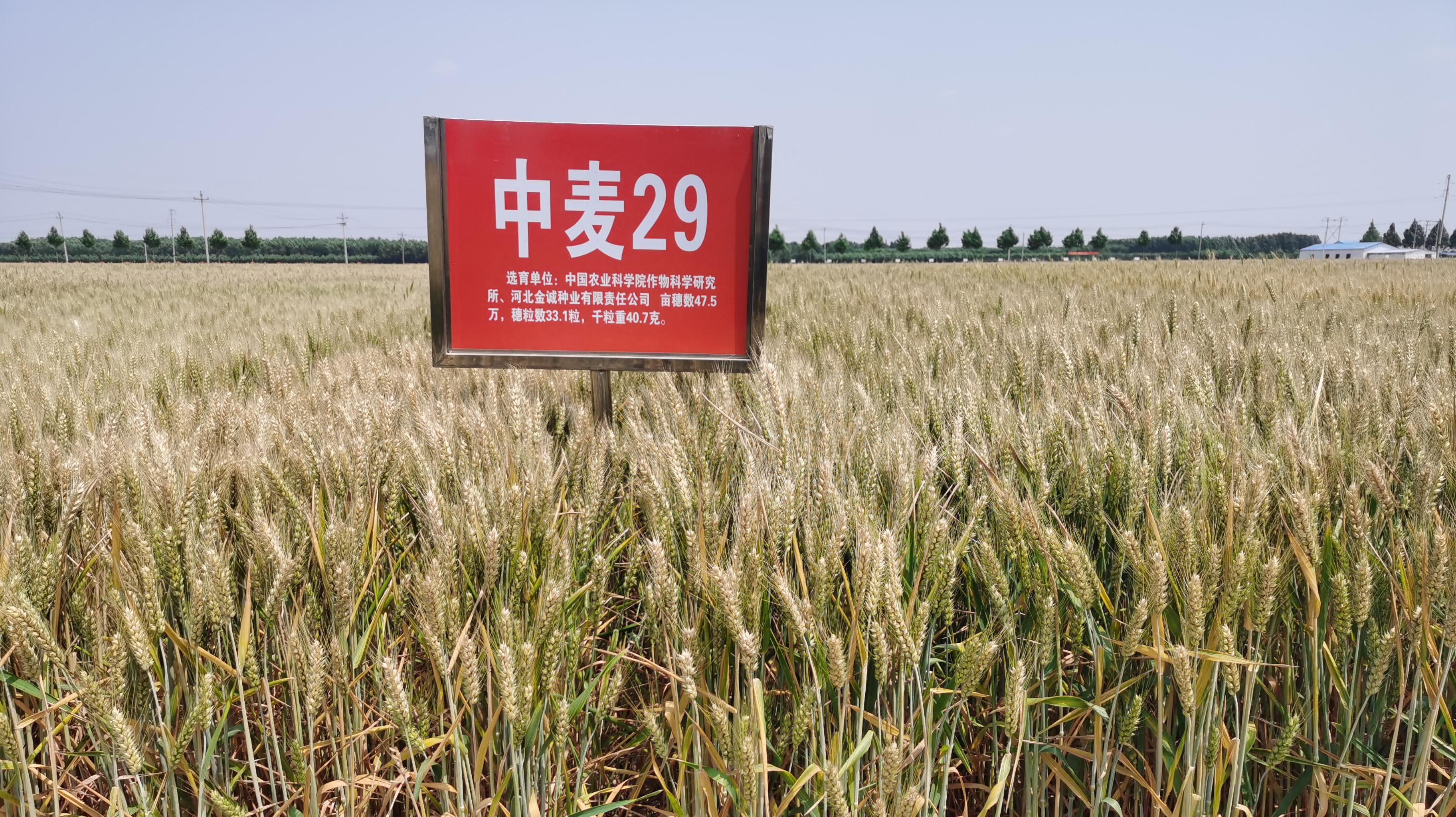 中麦29小麦种子产品介绍