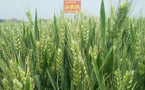 山农29号高产小麦种子