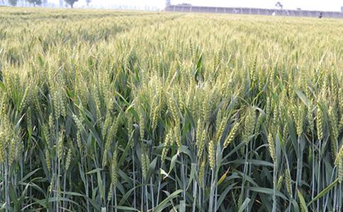 博信农业科技教您如何种植小麦种子?