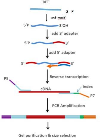 核糖体印迹测序