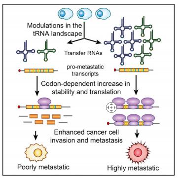 tRNAs的表达调控基因表达和癌症进程