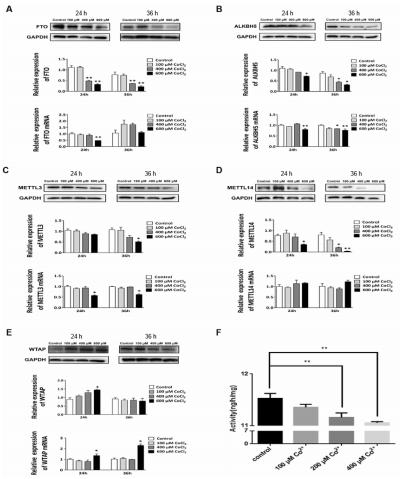 (7)CoCl2改变了m6A的甲基转移酶和去甲基化酶从而调节RNA m6A甲基化