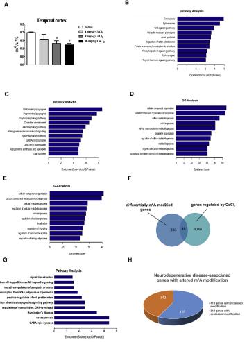 (3)CoCl2导致了大脑皮层基因m6A修饰的改变