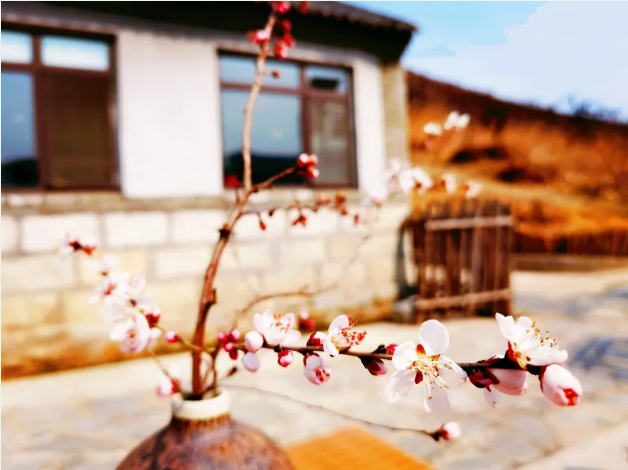 春分已至,杏花开了!