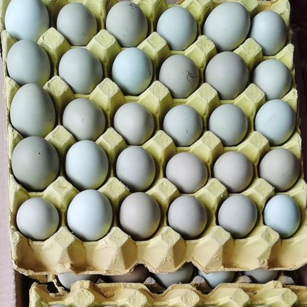 乌鸡绿壳蛋