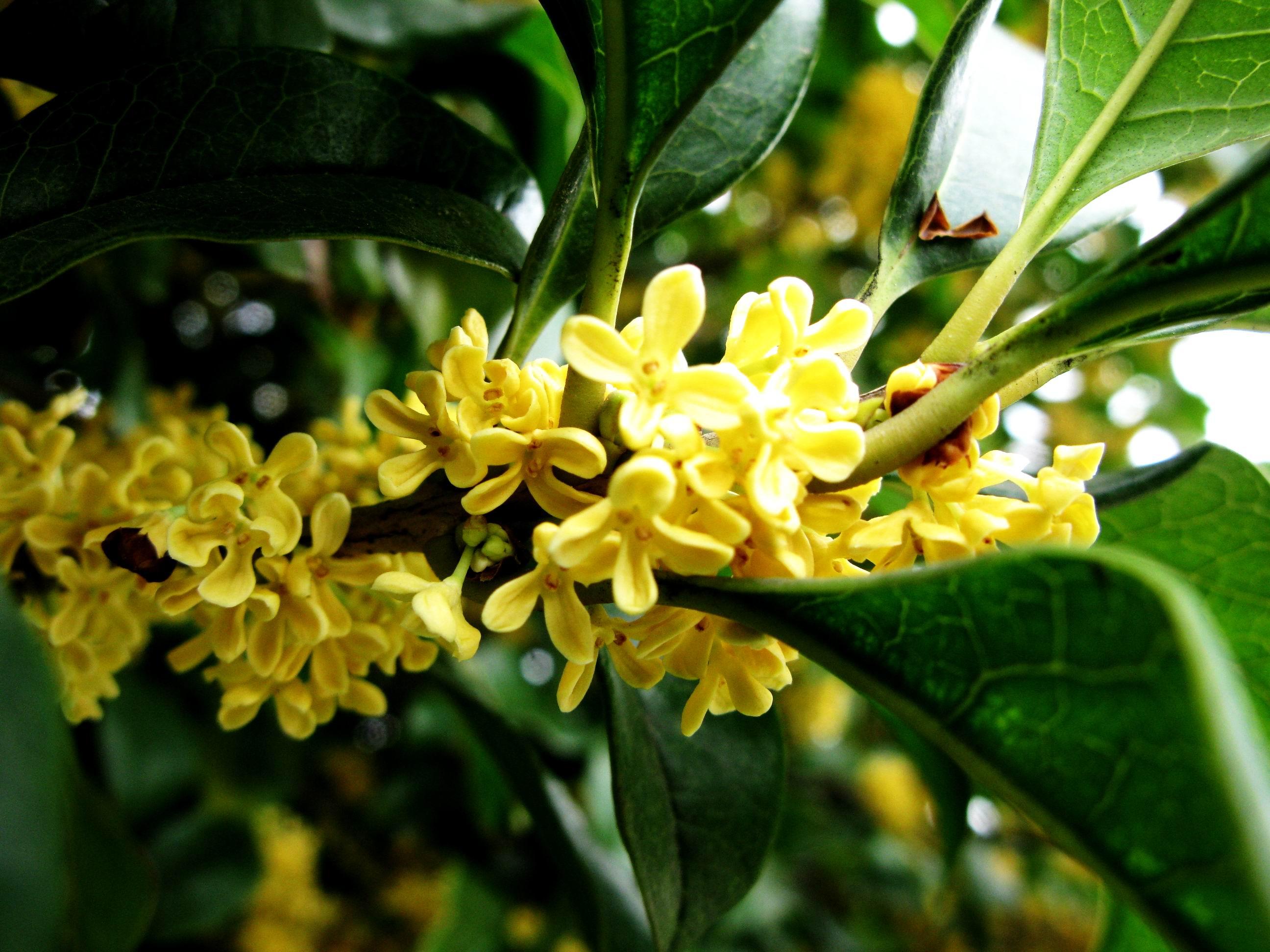 桂花树的养殖方法和注意事项是什么