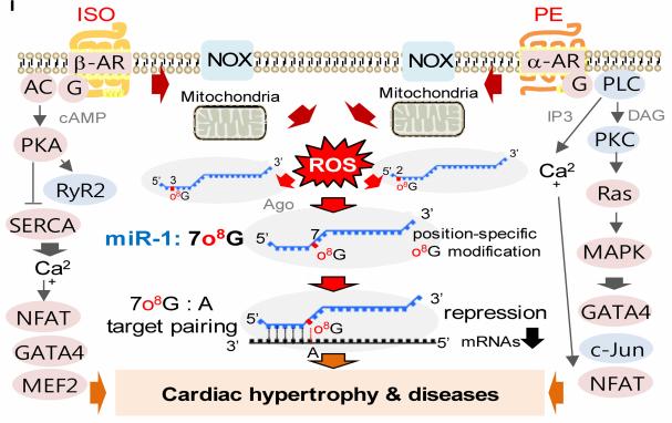 图注:miR-1位置特异性氧化的示意图模型