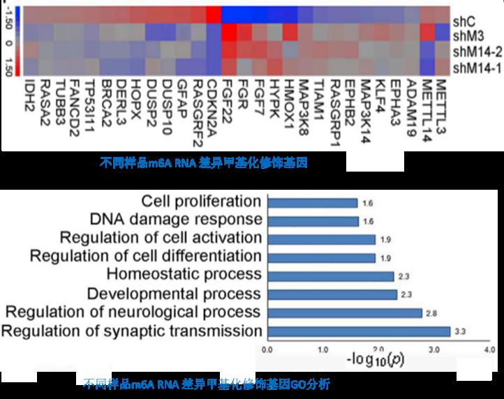 3.O8G RNA氧化的GO分析和KEGG 信号通路分析