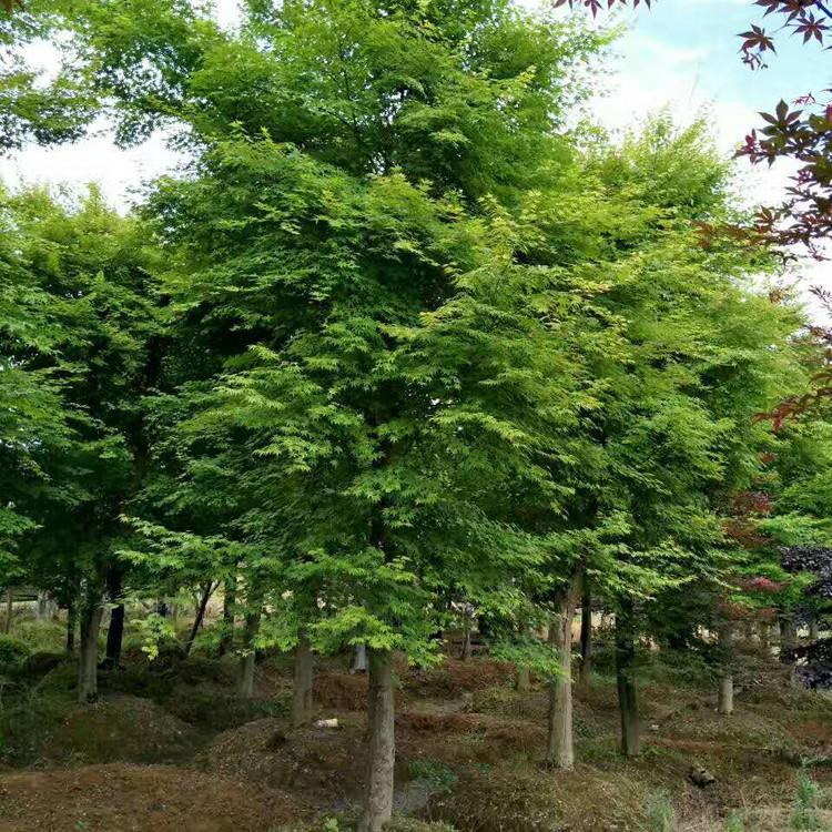 鸡爪槭栽培养护要点,你都知道吗?