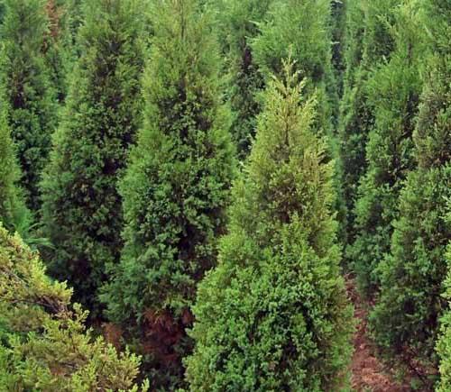 苗木行业在未来的几年种什么苗木前景好?