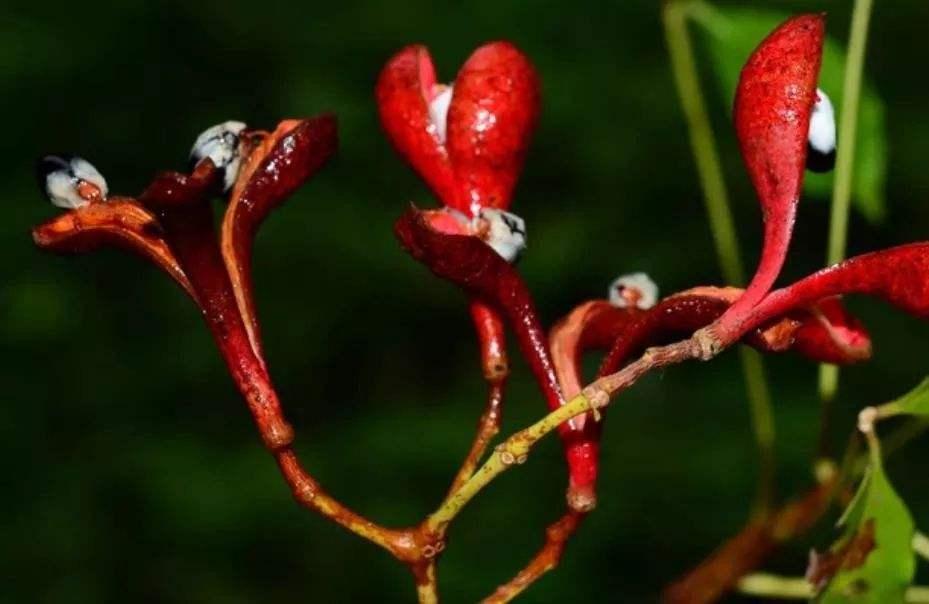 我国特有的Ⅰ级濒危珍稀物种:掌叶木