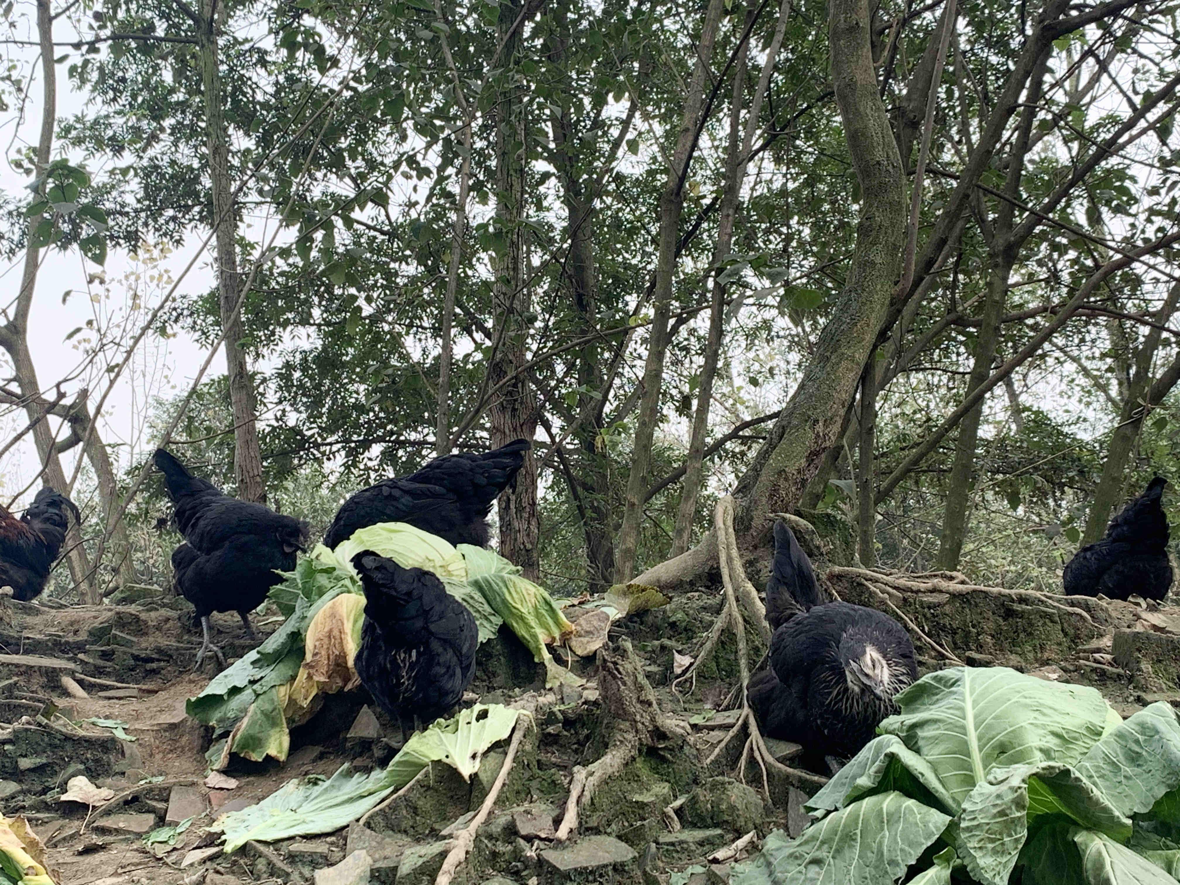 五黑乌鸡绿壳蛋青年鸡批发