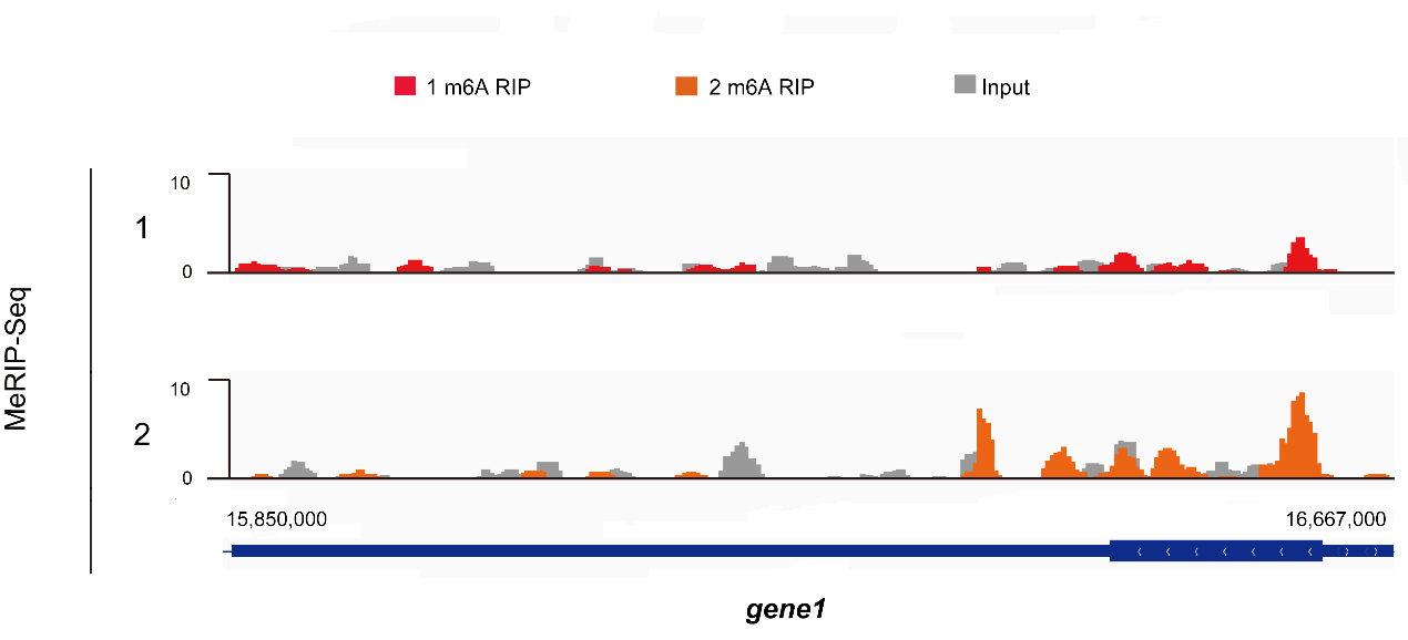 图5. MeRIP-Seq结果展示:IGV可视化