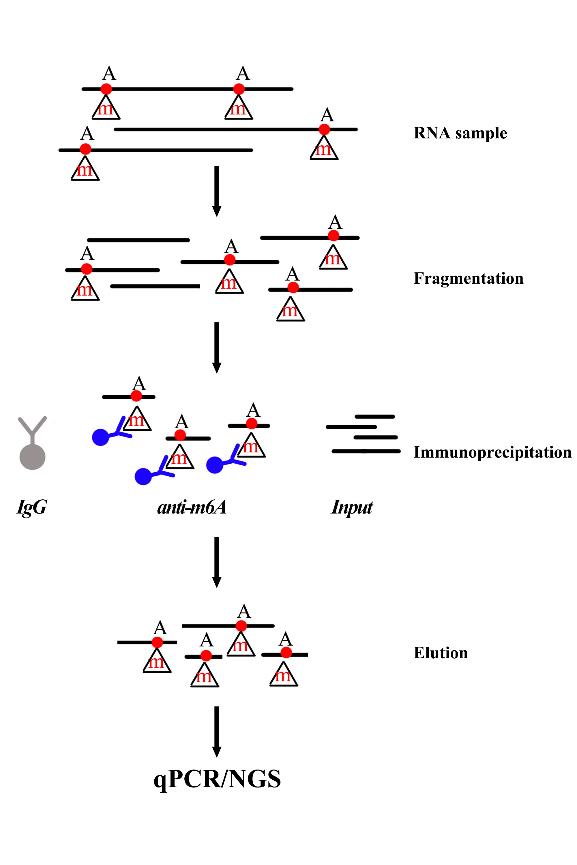 图1:GenSeq® m6A MeRIP试剂盒实验流程