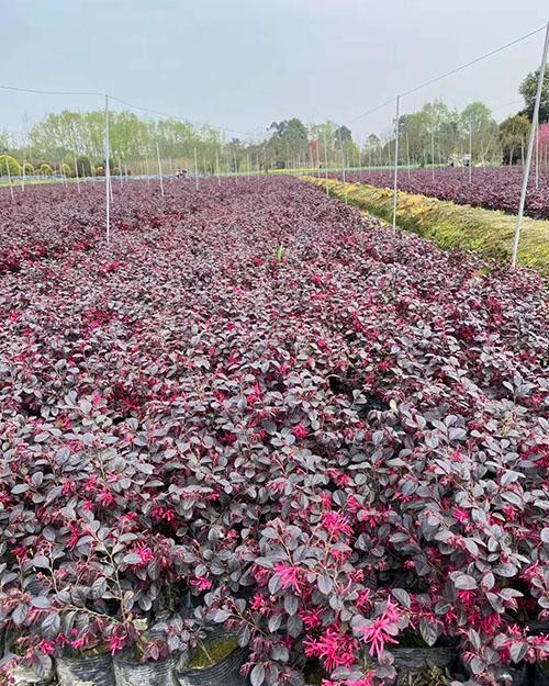 红继木的养殖方法是什么?