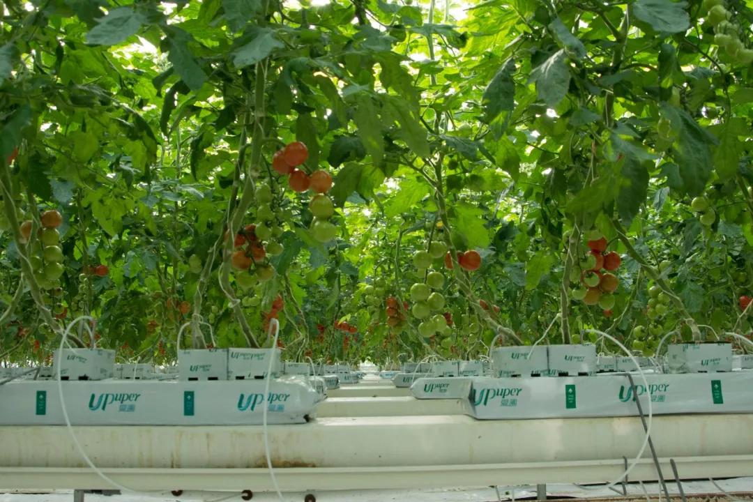 干货 | 无土栽培岩棉基质灌溉策略的制定