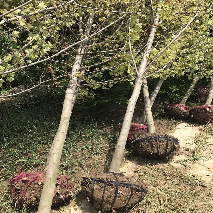 苗木土球标准一般挖多大