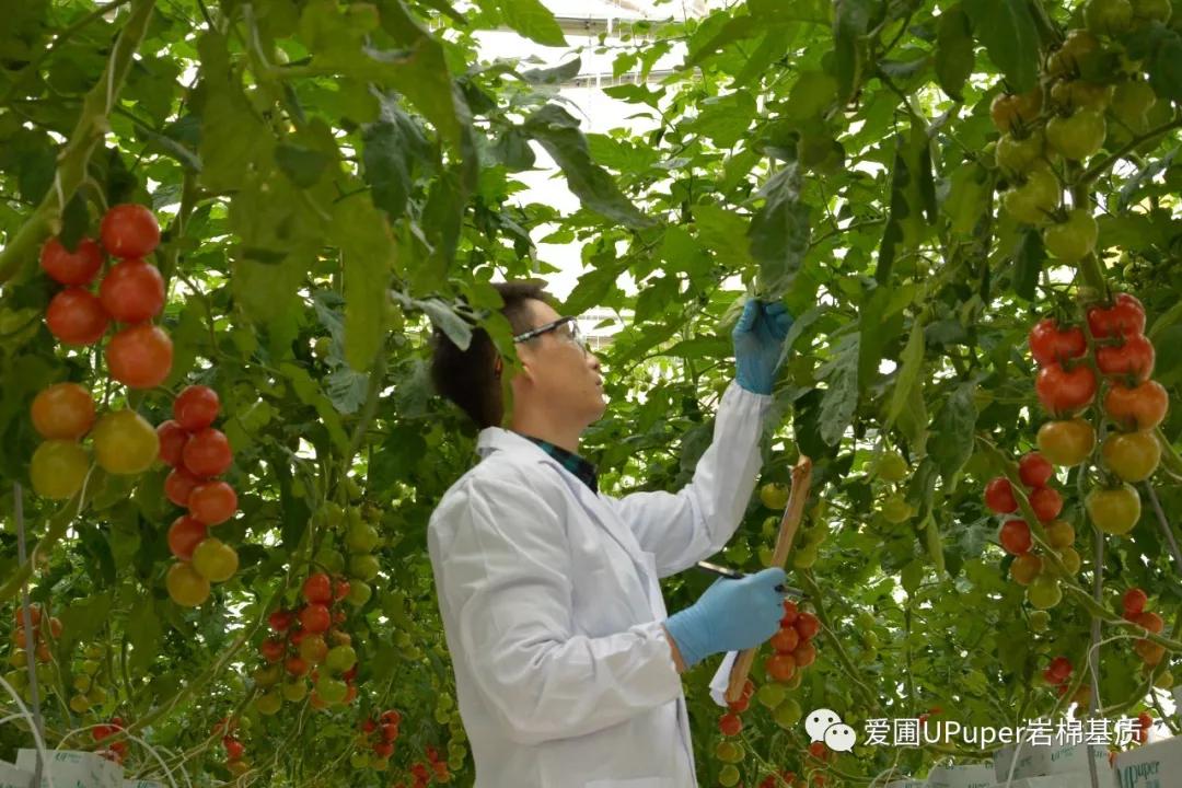 新方向 | 岩棉、营养液二次利用对青菜生长有何影响?