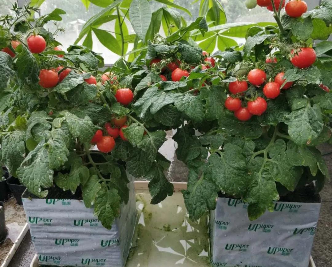 盆栽番茄种植该选择哪种基质?爱圃试验给你答案~