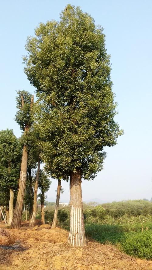 香樟是落叶还是常绿树?