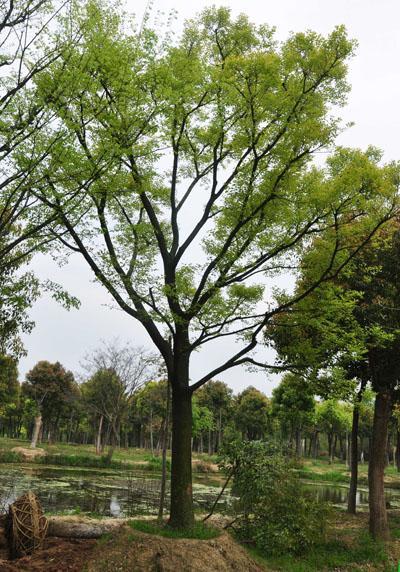 朴树的种植与管理方法