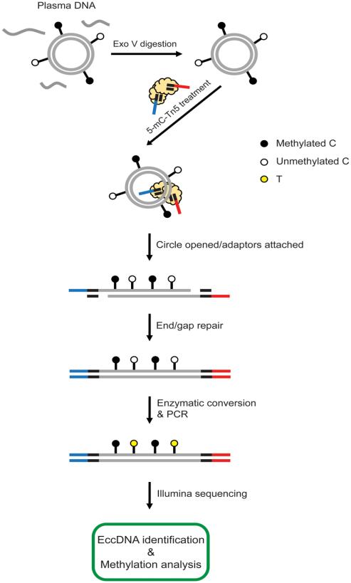 图1. 血浆eccDNA甲基化测序流程