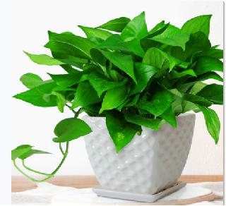 学会养护绿萝 净化环境空气