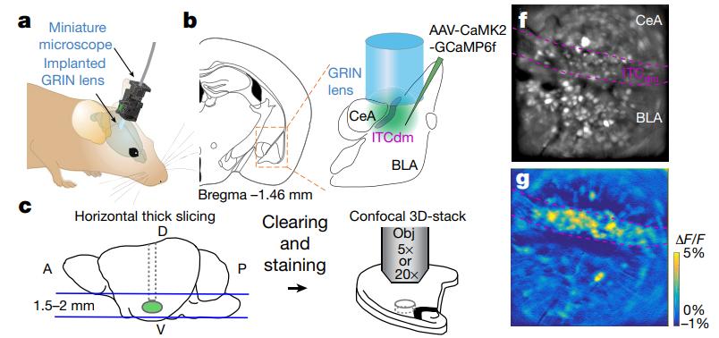 图1 使用Inscopix自由行为显微钙成像系统观察杏仁核及其周围区域的神经元