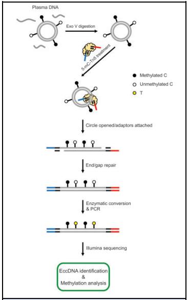1. eccDNA甲基化鉴定实验方法