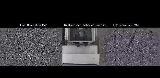猕猴手臂运动时,观察神经元的活动