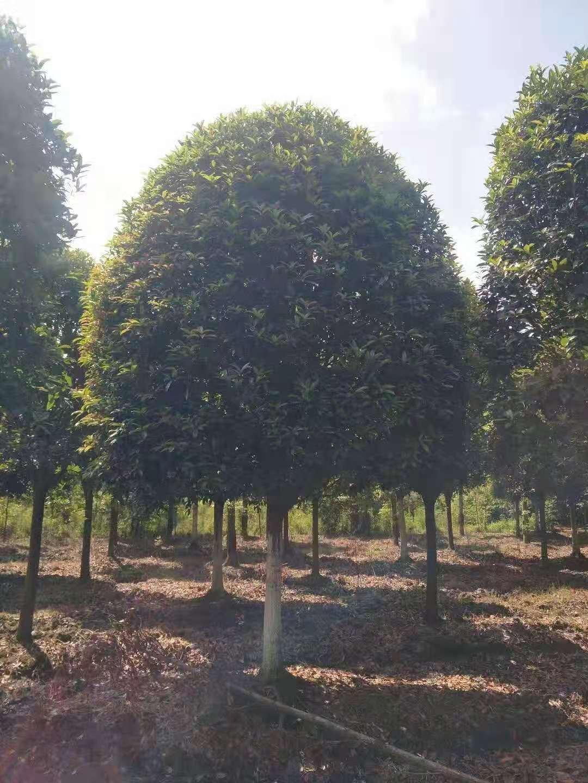 桂花树市场价格