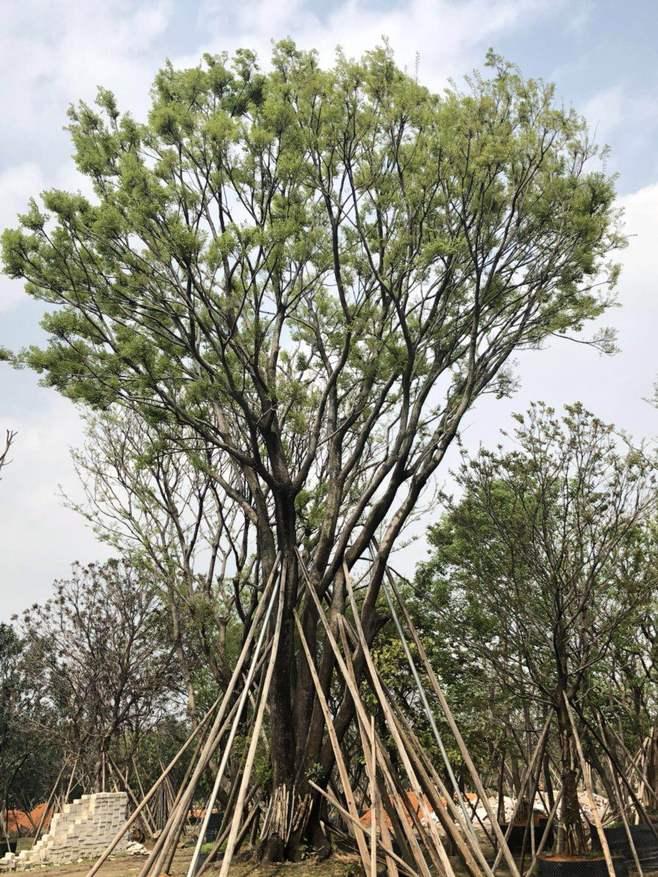 朴树植物价格是多少