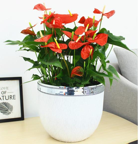 在花卉美陈布置中关于红掌的养殖方法与注意事项