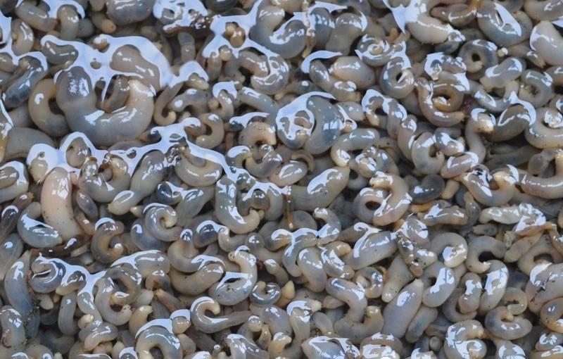 海肠苗的介绍-烟台海长生物科技有限公司