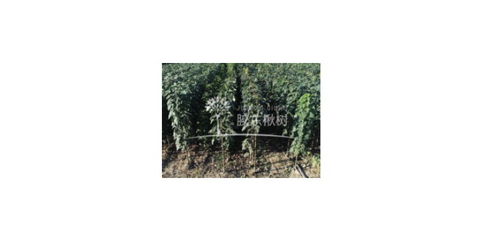 平顶山高产小叶楸成活率高 欢迎来电「莱阳市绿森苗木种植供应」